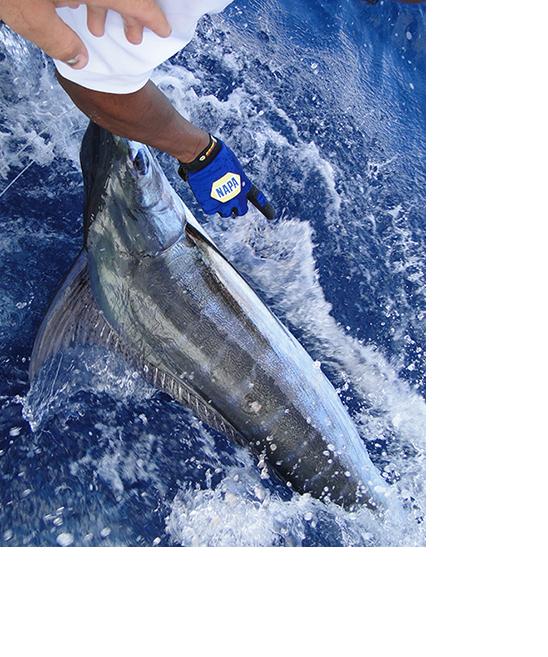 Blue Marlin FIshing Curacao